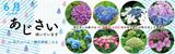 花アルバム・開花情報|6月「あじさい」咲いています|あじさいの森では30品種、約4000株のあじさいが咲きほこります!