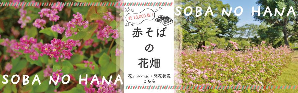 「約18000株」赤そばの花畑|花アルバム・開花情報