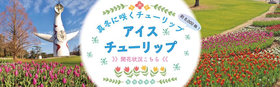 「真冬に咲くチューリップ」アイスチューリップ 開花状況