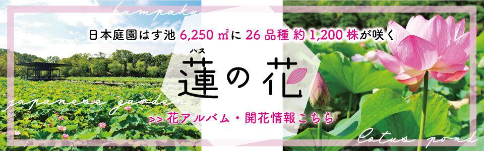 万博記念公園 蓮の花|日本庭園はす池6,250平方メートルに26品種 約1,200株が咲く