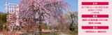 万博記念公園 梅まつり   日時:平成29年2月18日(土曜日)から3月20日(月曜日・祝日)まで 9時半から17時まで ※水曜休園   場所:自然文化園 梅林・水車茶屋、日本庭園 梅林   協力:一般社団法人梅研究会