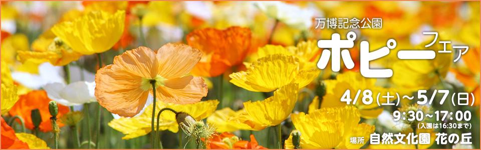 万博記念公園ポピーフェア|平成29年4月8日(土曜日)から5月7日(日曜日)9時30分から17時(入園は16時30分まで)|場所:自然文化園 花の丘