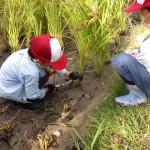 子ども農体験(稲刈り)
