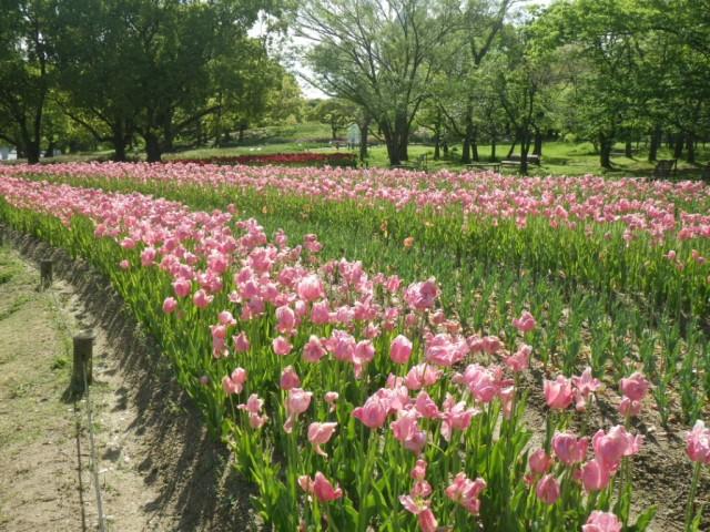 チューリップの花園④