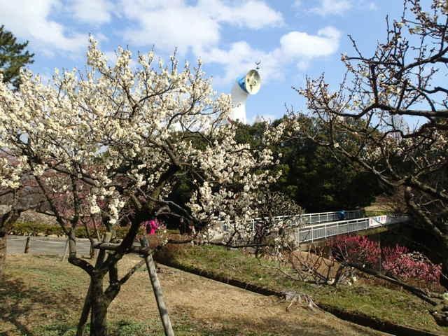梅の花と太陽の塔
