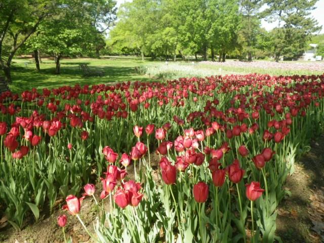 チューリップの花園②
