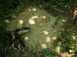 アカメガシワ群落下の木漏れ日の様子