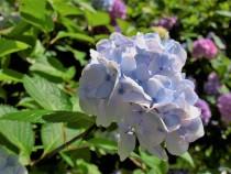 ajisai_200626