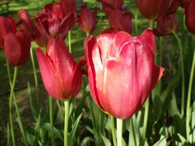 チューリップの花園③