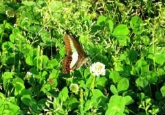 チョウの観察会