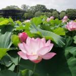 "万博記念公園早朝観蓮会&象鼻杯(Early Morning Lotus Viewing and ""Zobihai"")"
