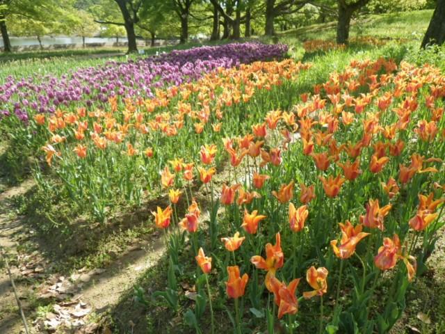 チューリップの花園①