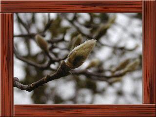 樹木の冬芽や葉痕を観察しよう!