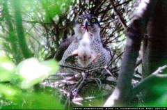 2014年のオオタカの雛と親鳥(メス)