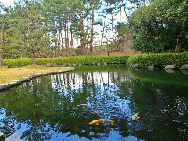 松の池に遊ぶ錦鯉