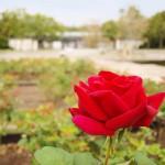 rose_181010_04.jpg