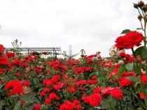 rose_200605