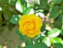 rose_200609