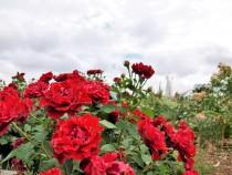 rose_200612