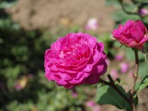 rose_200617_3