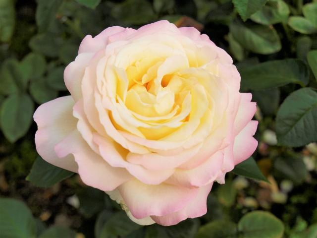 rose_201016_01