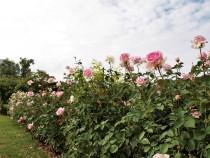 rose_201016_03
