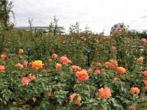 rose_201016_04
