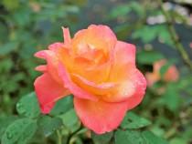 rose_201020_01