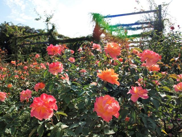 rose_201023_01
