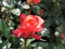rose_201023_02
