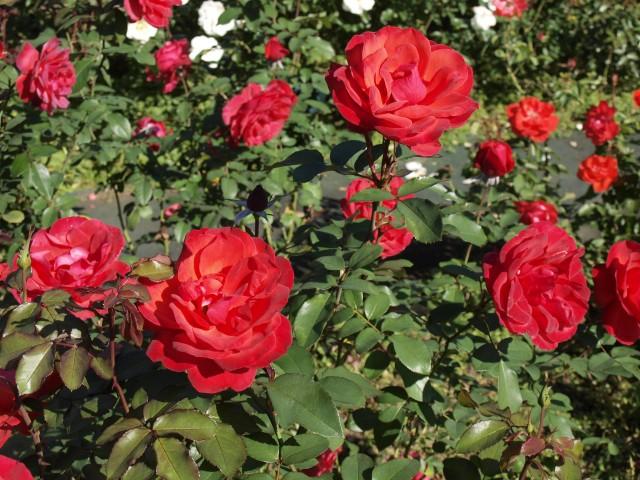 rose_201027_03