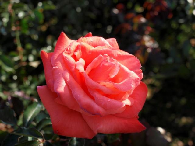 rose_201030_01