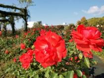 rose_201030_02