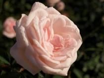 rose_201030_03