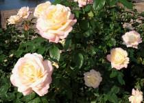 rose_201030_04