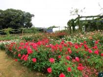 rose_201102_02