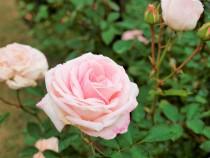 rose_201102_03