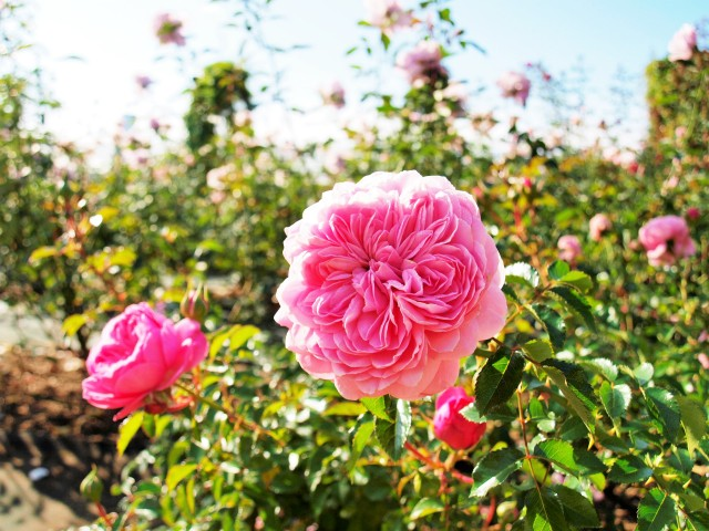 rose_201106_01