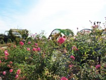 rose_201106_02