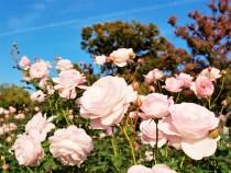 rose_201106_03