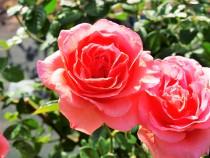 rose_201106_04