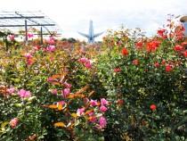 rose_201110_02