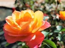 rose_201110_04