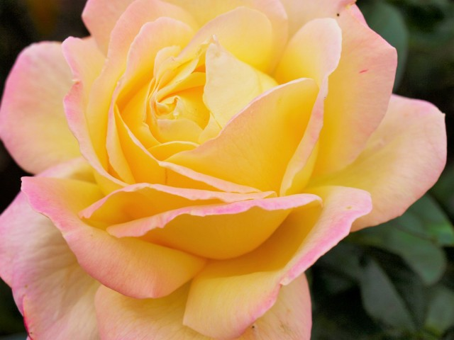 rose_201113_01