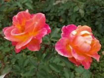 rose_201113_02