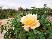 rose_201113_03
