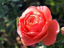 rose_201117_01
