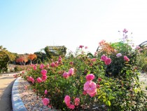 rose_201117_02