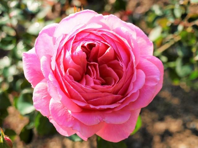rose_201117_03