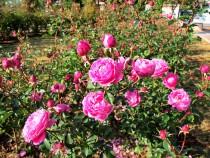rose_201117_04